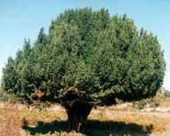 Il tasso del tasso barbasso di roberto tartaglione for Quercia sempreverde